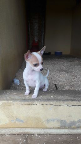 Chihuahua macho puro bonito