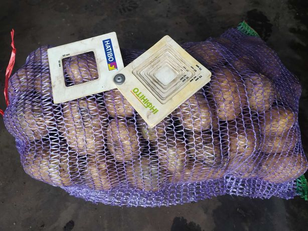 Продам картофель СИФРА товарный.