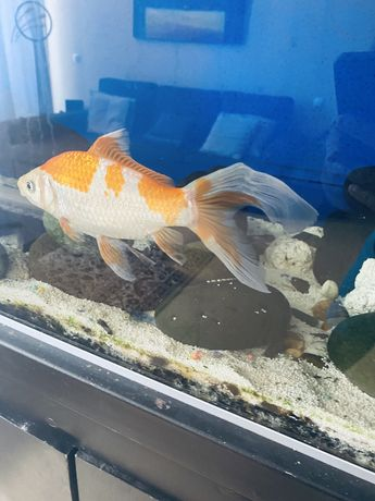 Goldfish peixe dourado