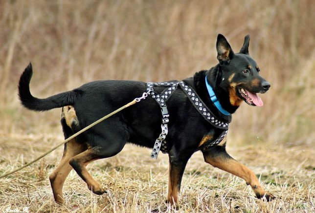 Roki - fajny domowy pies