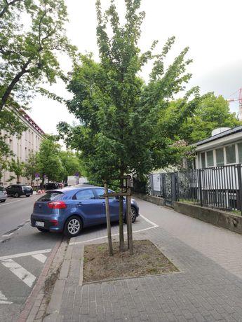 Klon polny duże drzewo, doniczka C12