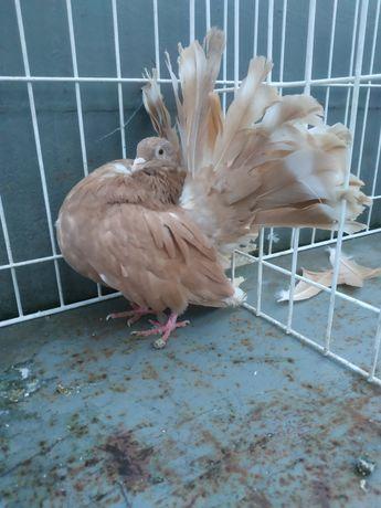 Pawik pawiki na lencie gołębie ozdobne gołąb ozdobny