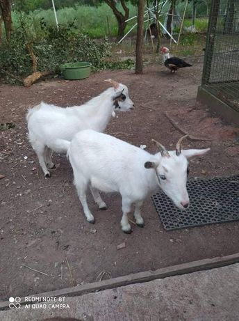 Cabras anãs mini