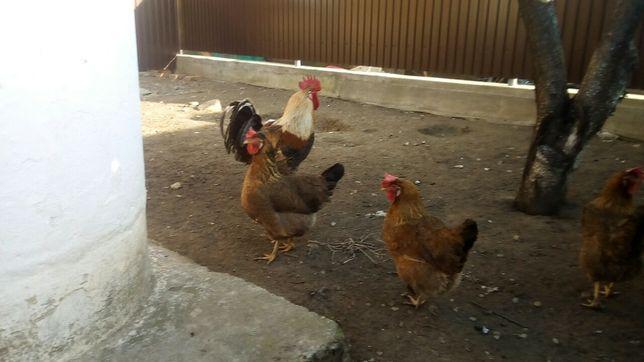 Продам інкубаційні яйця курей породи Легбар золотистий
