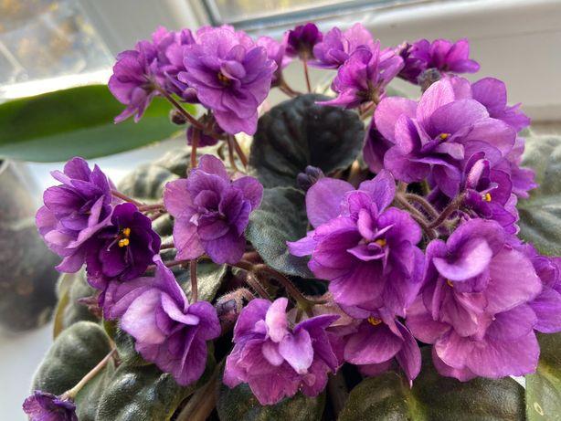Фиалка ( фиолетовая, розовая)