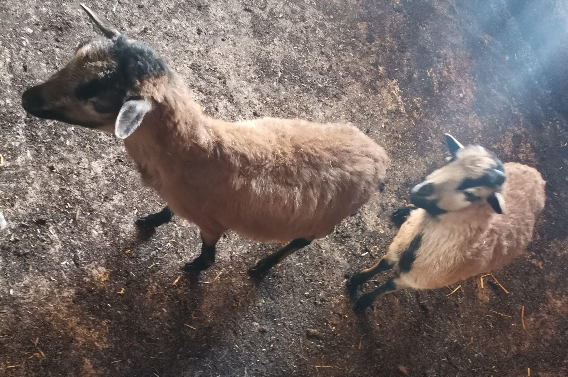 Owieczka i baranek kameruńskie