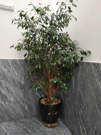 Plantas fícus benjamina com mais de 2 m