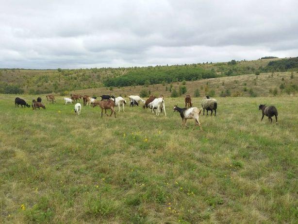 Молодые породистые козлята(нубийские и альпийские)