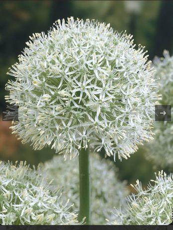 Allium Mount Everest  czosnek ozdobny