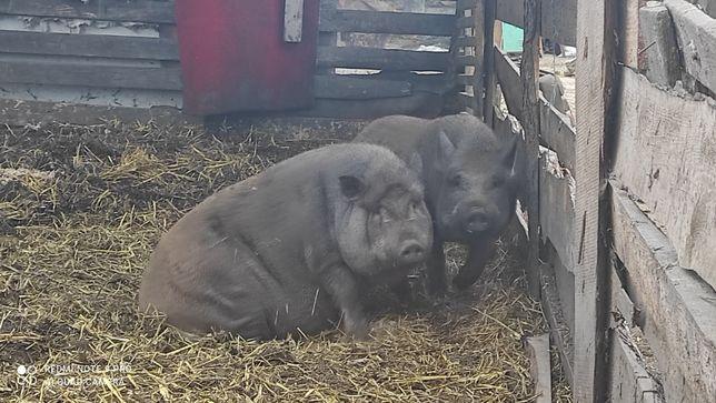 Продам свиней терміново