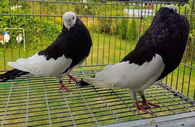 Gołębie pocztowe i ozdobne