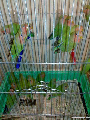 Попугай неразлучник розовощекий- молоденькие!