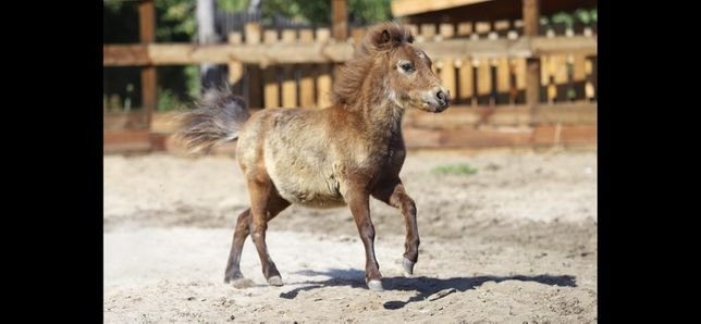 Мини лошадь с документами , пони , конь , жеребец , мини пони