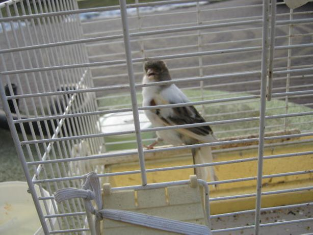 kanarek samiczka