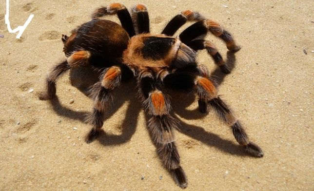 brachypelma smithi лучший птицеед для новичка паук павук птахоїд