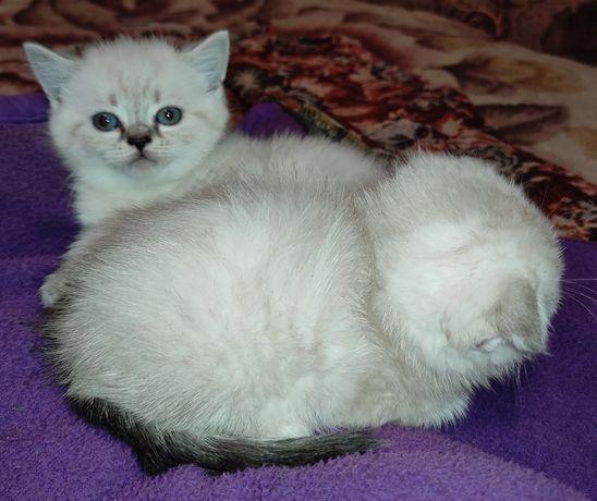 Линкс- поинт котята вислоухие и прямоухие шотландские