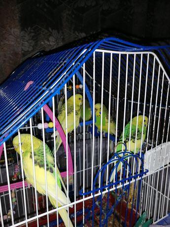 Симпатичные попугайчики, самочки