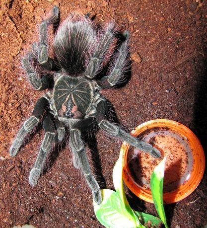 pamphobeteus sp. machala самка паука птицееда