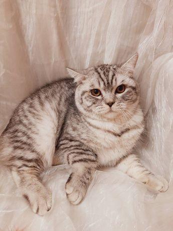 Британский кот обмен на бенгальскую кошку