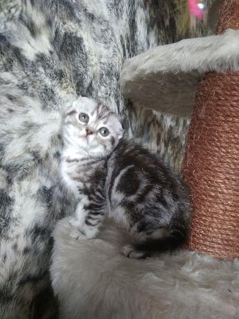 Мраморные котята, девочки и мальчики, вислоухие и прямоухие, Киев