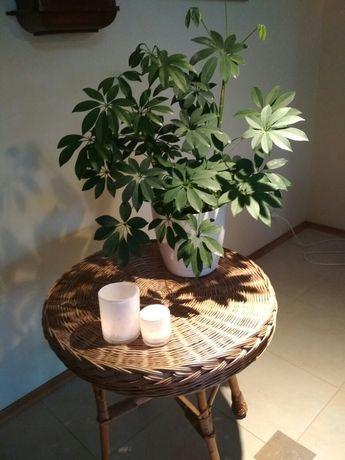 Szeflera kwiat doniczkowy