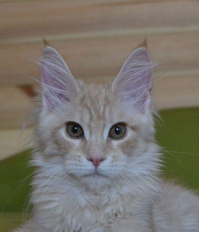 Слоники  котята Мейн Кун.