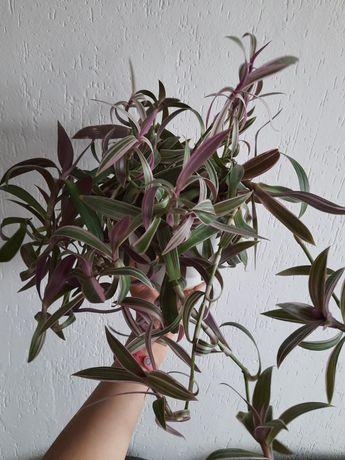 Reo meksykańskie trzykrotka duży kwiat