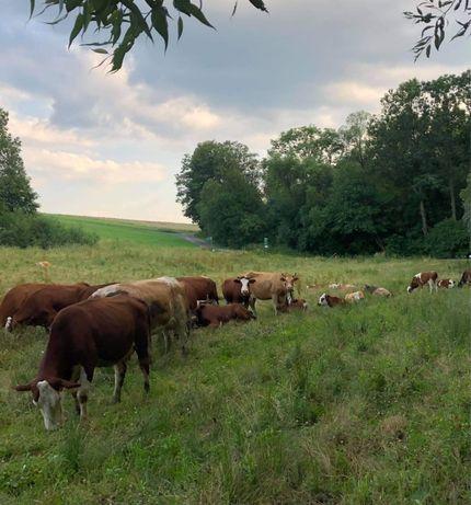 Stado bydla Simental krowy jalowki cielne byczki cielaki buhaj