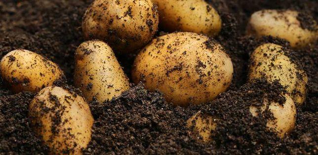 Ziemniaki hurt min. 30workow 80zł worek