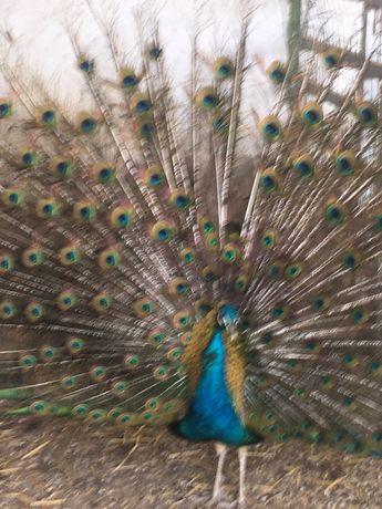 Casal de pavoes