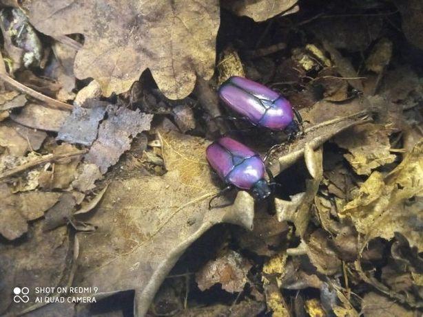 Chlorocala africana fioletowe chrząszcz żuk