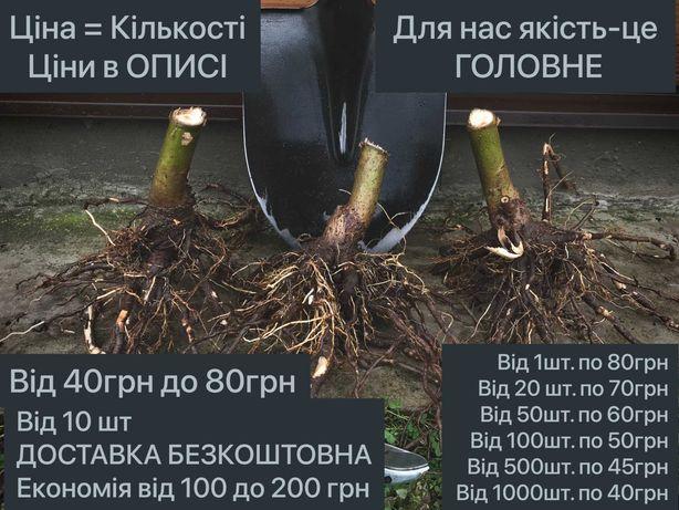 Павловния КОРНИ ТРЕХЛЕТНИЕ, Без.ДОСТАВКА, Промышленные, декоративные