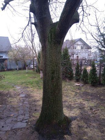 Drewno orzech włoski drzewo na pniu. Drzewo orzech włoski do ścięcia.