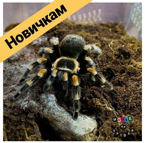 Для новичков пауки птицееды brachypelma hamorii