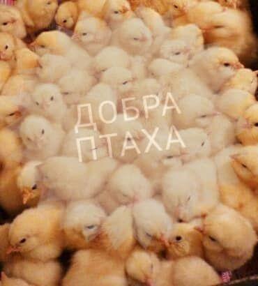Цыплята бройлер с доставкой