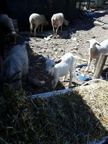 Vende-se 2 ovelhas e 2 cabras