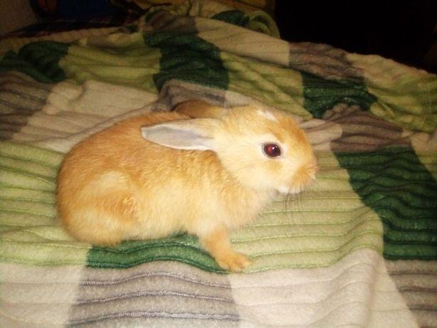 Віддам декоративного кролика