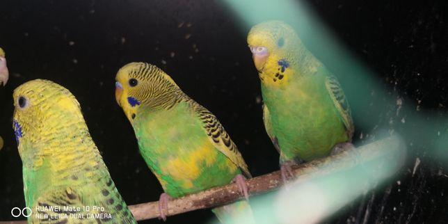 Papugi faliste, młode