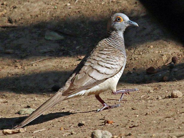 Rola Timor - geopelia Maugei - macho