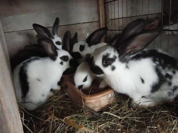 młode króliki - srokacz niemiecki