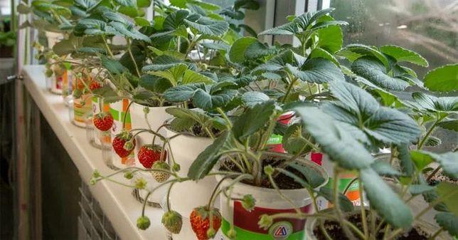 Ремонтантная клубника для выращивания на подокойннике