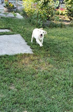 Лабрадоры щеночки