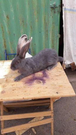 Продам Кролики голубой великан чисто порода Голландия