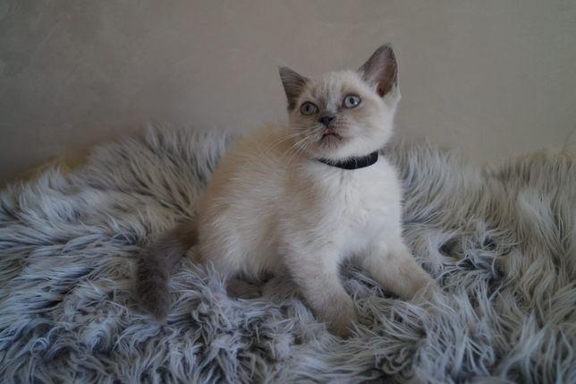 Koty kotki kocięta brytyjskie szkockie