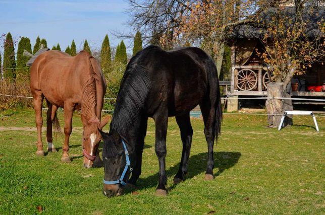 Piękny koń, ogier, grzeczny, 1,5 roku, cudowny!