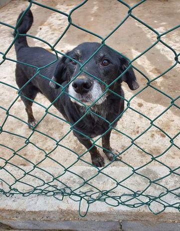 Black- cachorro velhote de porte médio para adoção