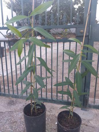 Jambolão (Syzygium cumini)