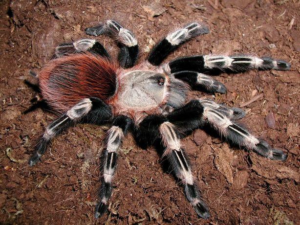 Ptasznik n.chromatus pająk pierwszy polecam