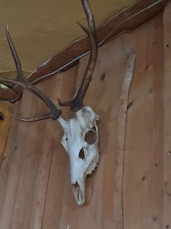 poroże jelenia do sprzedania