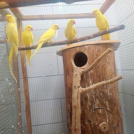 Papugi Aleksandretty obrożne żółte -młode2021 , lęgowe 2018